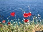 Poppies in Hydra, Greece